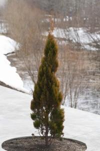 2010年春の庭の木
